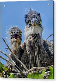 Wide Eyed Baby Herons Acrylic Print by Jennie Breeze