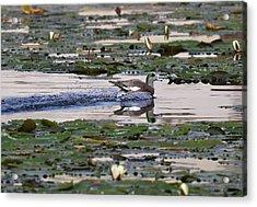 Widgeon Splash Landing Acrylic Print by Thomas Kaestner