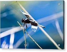 Widow Skimmer Acrylic Print