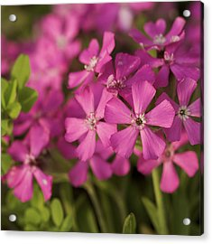 Acrylic Print featuring the photograph Wild About Pink - Pink Wildflower Art Print by Jane Eleanor Nicholas