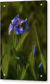 Wild Alaskan Iris Acrylic Print