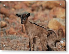 Wild Baby Goat Acrylic Print by DejaVu Designs