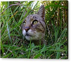 Wild Beast In The Long Grass Acrylic Print