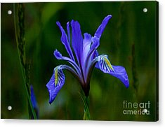Wild Beauty Acrylic Print
