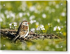Wild Birds - Field Sparrow Acrylic Print by Christina Rollo