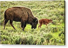 Wild Bison Cow And Calf Acrylic Print by Jeff R Clow