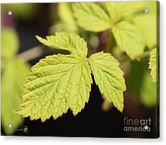 Wild Black Raspberry Leaves Acrylic Print by J McCombie