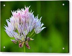 Wild Blue - Chive Blossom Acrylic Print by Adam Romanowicz