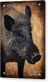 Wild Boar  Acrylic Print
