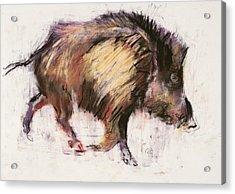 Wild Boar Trotting Acrylic Print by Mark Adlington