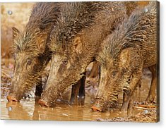 Wild Boars Drinking Water Acrylic Print by Jagdeep Rajput