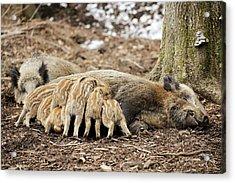 Wild Boars Suckling Acrylic Print by Bildagentur-online/mcphoto-schulz