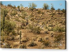 Wild Burros Acrylic Print by Robert Bales