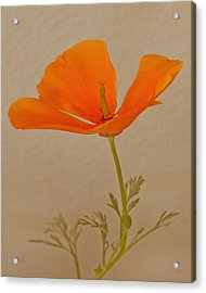 Wild California Poppy No 1 Acrylic Print