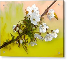 Acrylic Print featuring the photograph Wild Cherry Blossom Cluster by Jane McIlroy