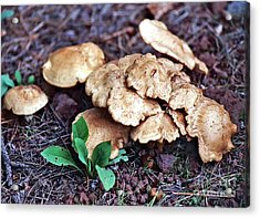 Acrylic Print featuring the photograph Wild Chicken Mushrooms by Juls Adams