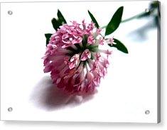 Wild Clover Flower Acrylic Print by Terri Waters