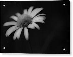 Wild Daisy Acrylic Print