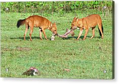 Wild Dogs Playing With A Carcass Acrylic Print