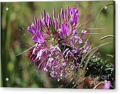 Acrylic Print featuring the photograph Wild Flower by Cynthia Snyder