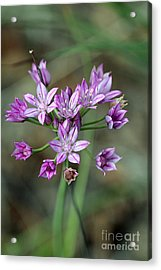 Wild Garlic - Allium Drummondii Acrylic Print