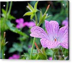 Wild Geranium Flowers Acrylic Print by Clare Bevan