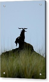 Wild Goats Of Kona Acrylic Print
