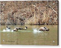 Wild Goose Chase Acrylic Print