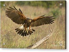 Wild Harris Hawk Landing Acrylic Print by Dave Welling
