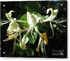 Wild Honeysuckle Acrylic Print