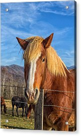 Acrylic Print featuring the photograph Wild Horse At Cades Cove In The Great Smoky Mountains National Park by Peter Ciro