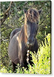 Wild Horse Close Up Acrylic Print