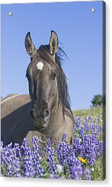 Wild Horse Foal In The Lupines Acrylic Print