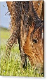 Wild Horse Grazing Acrylic Print