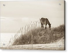 Wild Horse On The Outer Banks Acrylic Print