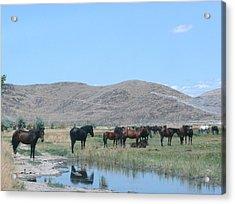 Wild Horses Acrylic Print by Amy Ernst