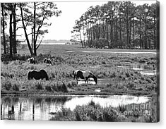 Acrylic Print featuring the photograph Wild Horses Of Assateague Feeding by Dan Friend