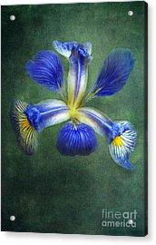 Wild Iris Acrylic Print by Kathi Mirto