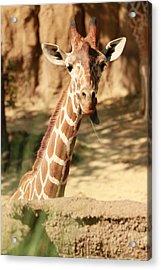 Wild Look Acrylic Print by Tinjoe Mbugus