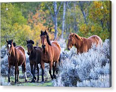 Wild Mustang Autumn Acrylic Print by Mike Dawson