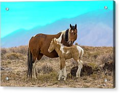 Wild Mustang Horses In The West Desert Acrylic Print by Don Cook