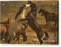 Wild Mustang Stallions - Signed Acrylic Print by J L Woody Wooden