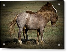 Wild Mustangs Of New Mexico 2 Acrylic Print