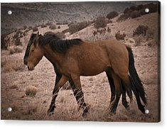 Wild Mustangs Of New Mexico 23 Acrylic Print