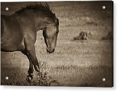 Wild Mustangs Of New Mexico 31 Acrylic Print