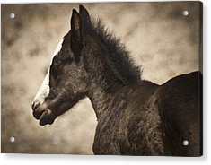 Wild Mustangs Of New Mexico 37 Acrylic Print