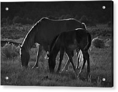 Wild Mustangs Of New Mexico 7 Acrylic Print