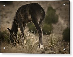 Wild Mustangs Of New Mexico 8 Acrylic Print