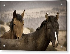 Wild Mustangs Of New Mexico Acrylic Print