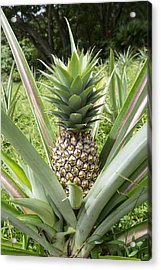 Wild Pineapple Acrylic Print by Joe Belanger